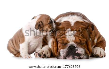 telling secrets - english bulldog puppy telling his father a secret isolated on white background - 8 weeks old - stock photo