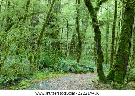 Temperate rain forest, Fiordland National Park, South Island, New Zealand.Track - Lake Gunn Nature Walk.