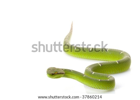 Temple viper (Tropidolaemus wagleri) isolated on white background