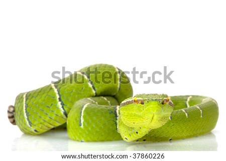 Temple viper (Tropidolaemus wagleri) isolated on white background - stock photo
