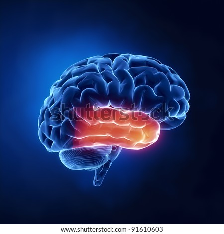 Temporal lobe - Human brain in x-ray view - stock photo