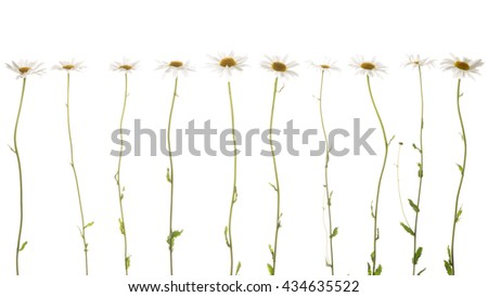 ten beautiful flowers field of daisies, with white soft petals and a bright yellow center on thin delicate green stems on a white background isolation - stock photo