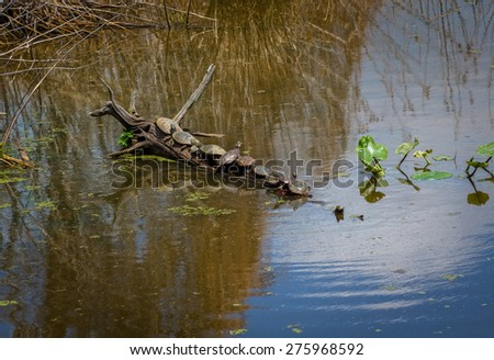 Ten turtles basking in the sun on a log in this wildlife refuge in Tinicum Pennsylvania. - stock photo