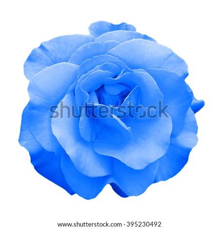 Tender blue rose flower macro isolated on white - stock photo