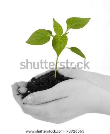 tender green seedling with soil resting in woman's hands. isolated on white - stock photo