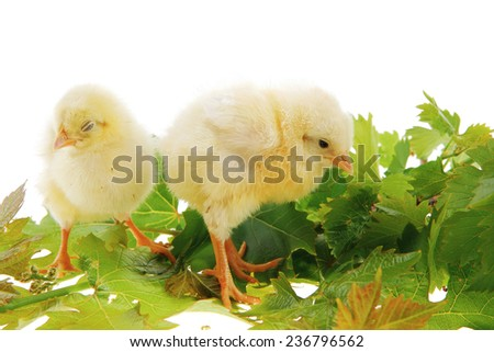 tender live little baby chicken isolated on white background on green leaves - stock photo