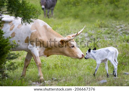 Tender moment between a female longhorn cow and her newborn calf - stock photo