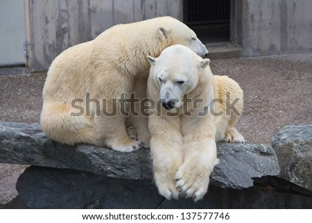 Tender polar bears showing their love - stock photo