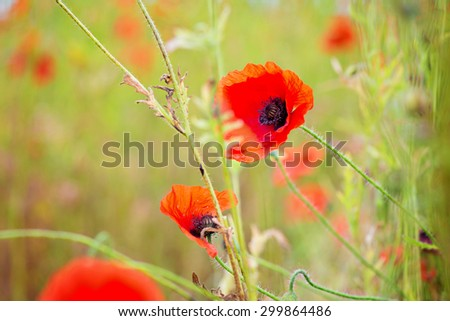 Tender shot of red poppies on the field - stock photo