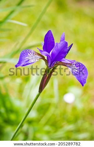 Tender violet Iris. Close up
