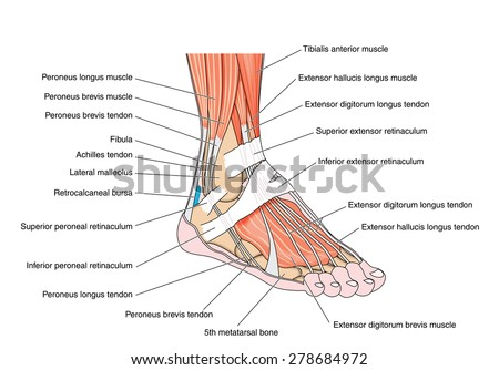 Tendons and muscles of the foot and ankle, including the bones, attachments and retinaculae. Created in Adobe Illustrator.  Contains transparencies.  EPS 10. - stock photo