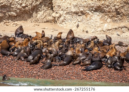 Tens of sealions on the seashore in Ballestas island, Peru national Park - stock photo