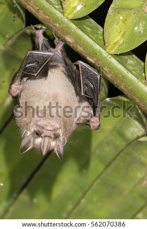 Tent-making bat (Uroderma bilobatum) & Tent-making Stock Images Royalty-Free Images u0026 Vectors | Shutterstock