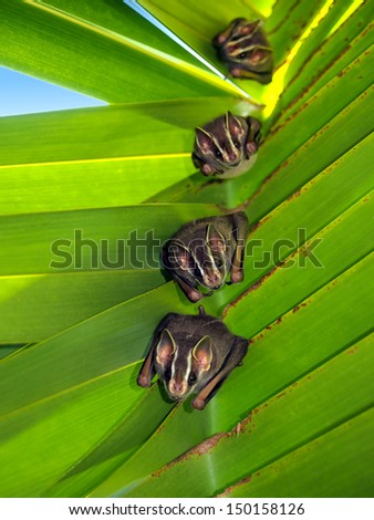 Tent-Making Bats under coconut palm, Caribbean, Costa Rica - stock photo