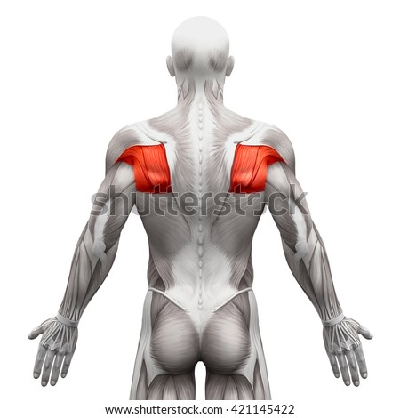 teres major stock images, royalty-free images & vectors | shutterstock, Human Body