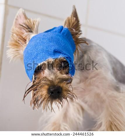 Terier in broken arm. Animal hospital.  - stock photo