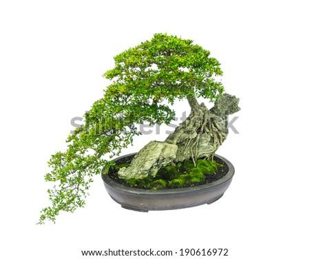 terminalia ivorensis chev tree growing on the rock as bonsai isolated on white background - stock photo