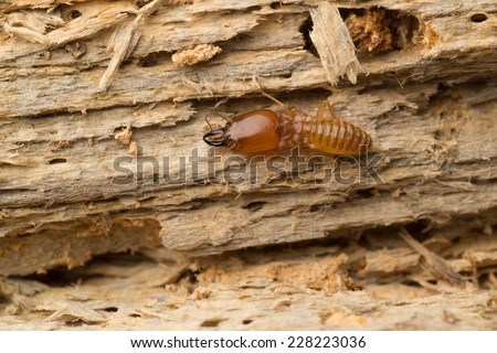 termite on rotten wood, with termite holes.