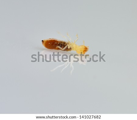 termite white ant isolated on Gray 	 - stock photo