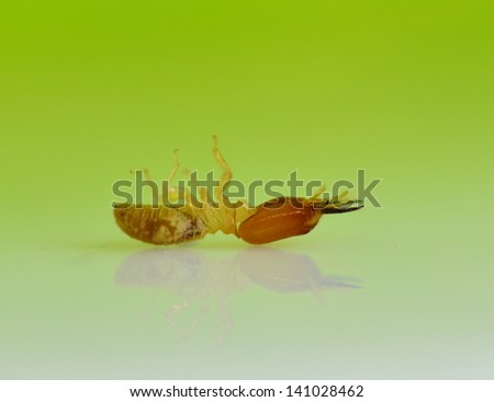 termite white ant isolated on Green background. - stock photo