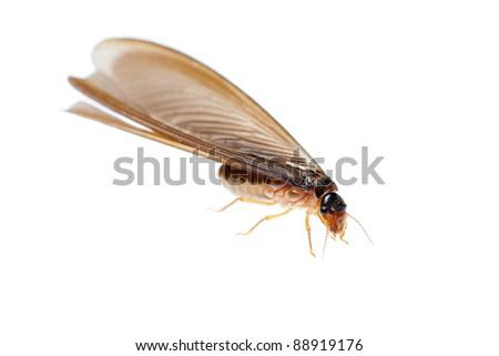termite white ant  isolated on white - stock photo
