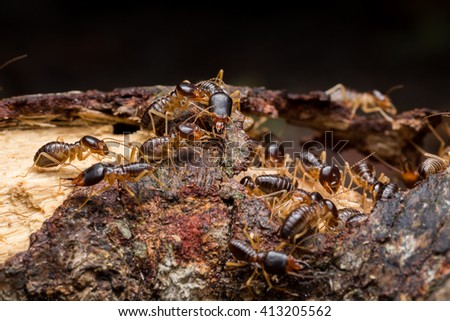 Termites are insects that are living in society. Often live together in a large group within the nesting habits in general. Like a dark and damp - stock photo
