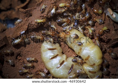 Termites at a small hole in the timber of an old damaged wood table. Larger-than-life reproduction ratio( about twice life-size). Termites are insects in the order Isoptera. - stock photo