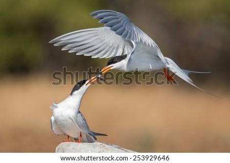 Tern Food Exchange - stock photo