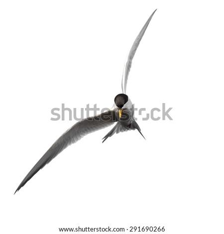 Tern isolated on white background - stock photo