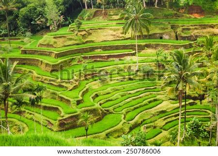 Terrace rice fields at Bedugul village in Bali, Indonesia - stock photo