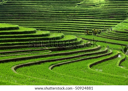 terrace rice fields, Bali, Indonesia - stock photo