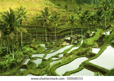Terrace rice fields in morning sunrise, Ubud, Bali, Indonesia - stock photo