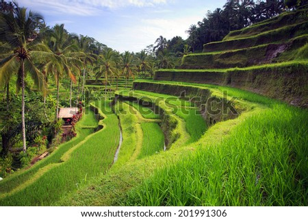 Terrace rice fields in Tegallalang, Ubud on Bali, Indonesia. - stock photo