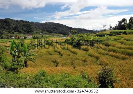 Terrace rice fields near Lake Maninjau. Lake Maninjau (Danau Maninjau) is a caldera lake in West Sumatra, Indonesia. - stock photo