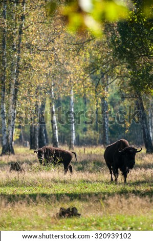 Terraced-Prioksky Reserve Bison - stock photo