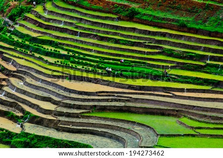 Terraced rice field in water season in Sapa, Vietnam