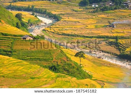 Terraced rice fields - gold terraced rice field in Sapa, Lao Cai, Vietnam - stock photo