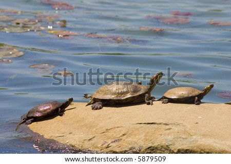 Terrapin - stock photo