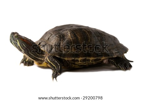 terrapin isolated on a white background. - stock photo