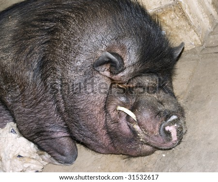 Terrible black pig