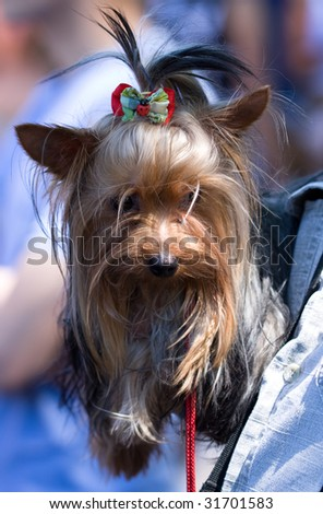 terrier - stock photo