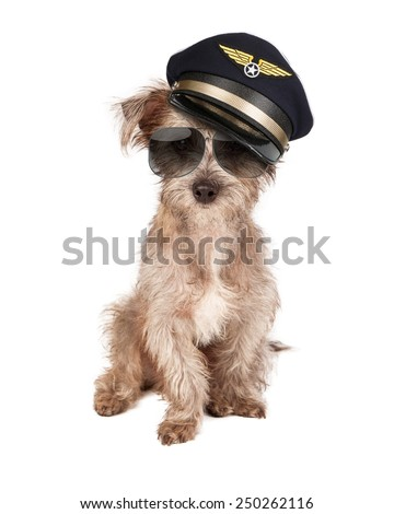 Terrier dog dressed as an airline pilot with hat and glasses - stock photo