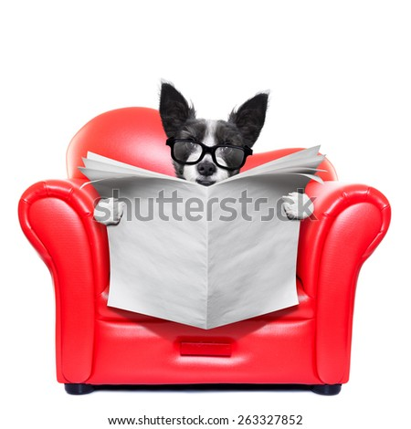 terrier dog reading blank empty newspaper on a red sofa , couch, or lounger , in living room , isolated on white background - stock photo