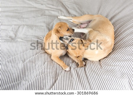 Terrier Mix Dog Playing with Her Puppy - stock photo