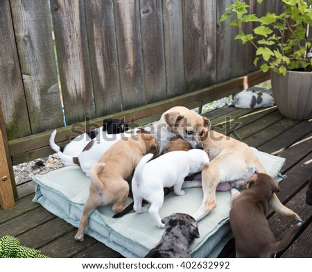 Terrier Mix Mom Dog Playing and Nursing Her Puppies Outside on Summer day - stock photo