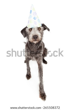 Terrier mixed breed dog wearing a birthday party hat with paw prints on it - stock photo