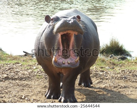 Territorial Hippo - stock photo