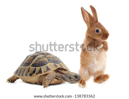 Testudo hermanni tortoise and rabbit make a race on a white isolated background - stock photo