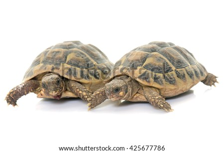 Testudo hermanni tortoise on a white isolated background - stock photo