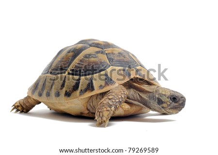 Testudo hermanni tortoiseon a white isolated background - stock photo